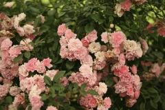 Роза Fairy