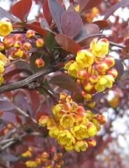 Барбарис Superba цветы