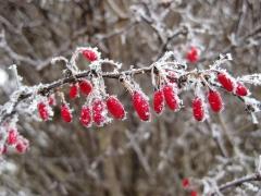 Барбарис Ред Чиф плоды зимой