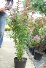 Барбарис Тунберга Атропурпуреа / Atropurpurea выс.80-90см