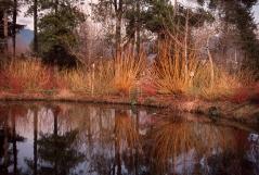 Дерен Sibirica зима