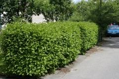 Cornus alba 'Sibirica' живая изгородь