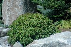 Дерен Белый Cornus Alba Sibirica