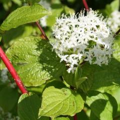 Дерен белый Сибирика цветение