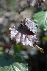Corylus maxima Purpurea