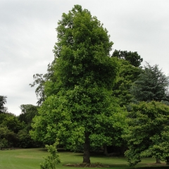 Тюльпановое дерево / Лириодендрон<br>Тюльпанове дерево / Ліріодендрон <br>Liriodendron tulipifera