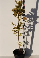 Тюльпановое дерево осенью