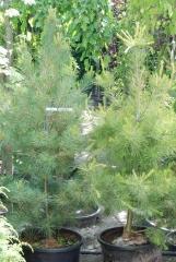 Сосна веймутова 140-150 см