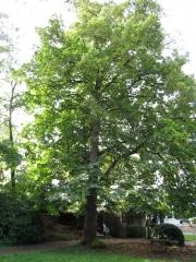 Липа крупнолистная / широколистная <br>Липа крупнолиста / широколиста<br>Tilia platyphyllos