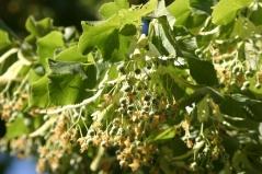 Цветки липы крупнолистной