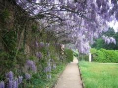 Вистерия - вьющиеся растения для сада Киев