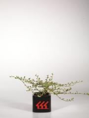 Кизильник горизонтальный пестролистный Вариегатус (Cotoneaster atropurpureus Variegatus)