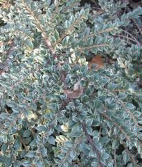 Cotoneaster Variegatus