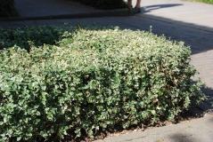 Euonymus fortunei Emerald Gaiety почвопокровное растение