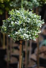 Euonymus fortunei Emerald Gaiety на штамбе