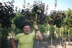 Бук лесной 'Пурпуреа Пендула' <br>Fagus sylvatica 'Purpurea Pendula'