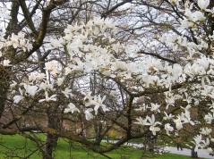 Магнолия Кобус цветение