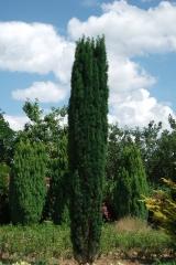 Тис ягодный 'Фастигиата' <br>Taxus baccata 'Fastigiata'