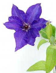 Клематис Президент (цветок)