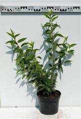 Форзиция средняя Миниголд диаметр растения 50см