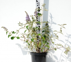 Буддлея Давида Лочинч высота растения 50см
