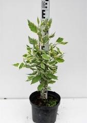 Дерен белый Сибирика Вариегата высота растения 55см