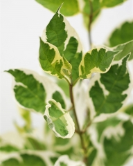 Дерен белый Сибирика Вариегата (окраска листа)