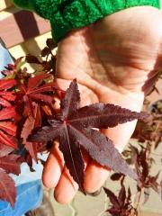 Клён веерный / пальмолистный Атропурпуреум окраска листьев