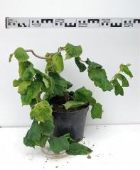 Лещина обыкновенная Конторта диаметр растения 50см