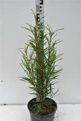 Крушина ломкая Файн Лайн высота растения 55см