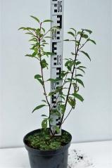 Миндаль трёхлопастной Розенмунд высота растения 45см