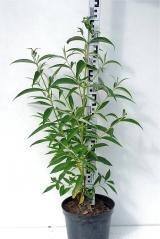 Буддлея Давида Роял Ред высота растения 80см