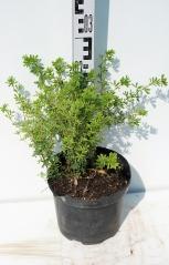 Лапчатка кустарниковая Мэрион Ред Робин высота растения 25см