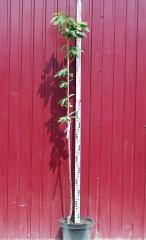Черешня Джерело высота дерева 1,8м