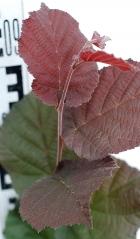 Фундук обыкновенный Сирена окраска листьев