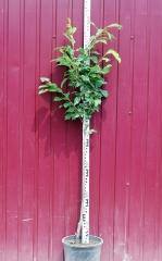 Абрикос Ананасный высота дерева 1,4м