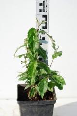 Гуми высота растения 25см