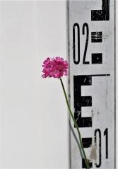 Армерия приморская (соцветие)