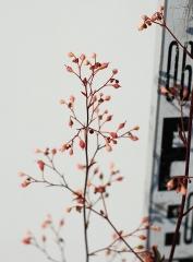 Гейхера гибридная Регина (соцветие)