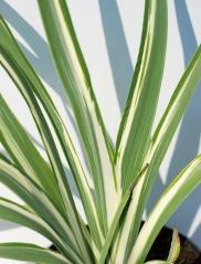 Ирис щетинистый Вариегата (окраска листьев)