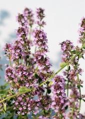 Тимьян лимоннопахнущий Раста (цветение)