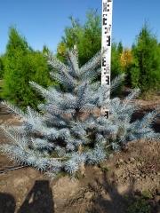 Picea pungens Blue Diamant на солнце