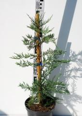 Купрессоципарис Лейланда высота 60см