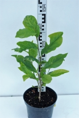 Магнолия Бетти высота растения 40см
