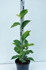 Магнолия Суланжа Специоза высота растения 65см