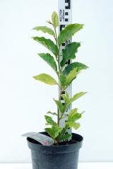 Магнолия Сьюзан высота растения 40см