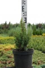 Picea glauca 'Conica' Ель канадская 'Коника'