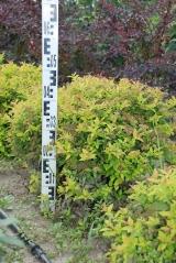 Спирея японская Голдфлейм высота растения 30см