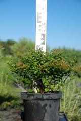 Спирея японская Литл Принцесс высота растения 25см