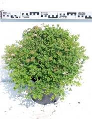 Спирея японская Литл Принцесс диаметр растения 45см